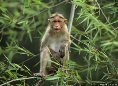 Two Female Monkeys Make Four Babies