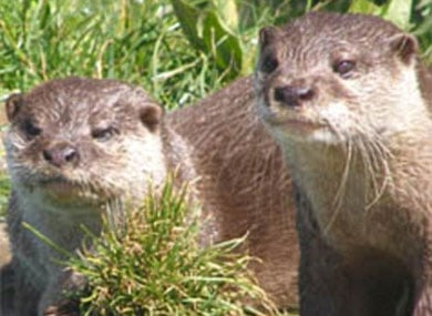 Heartbroken Male Otters Die Within An Hour of Each Other