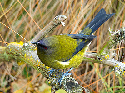 The World's First Transgender Bellbird Discovered in New Zealand