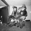 Three Clowns in Monkey Suits at the Ringling Brothers Barnum Bailey Circus, New York, NY April 1977
