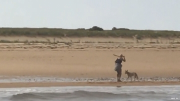 Coyote on beach in Ptown